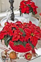 weihnachtssterne-poinsettia-2013-decoration-10